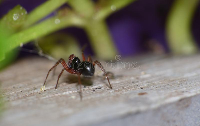 Woodlouse Spider - UK - Macro Photography. Small black woodlouse spider in the garden photo taken in the UK. Macro Photography stock photo