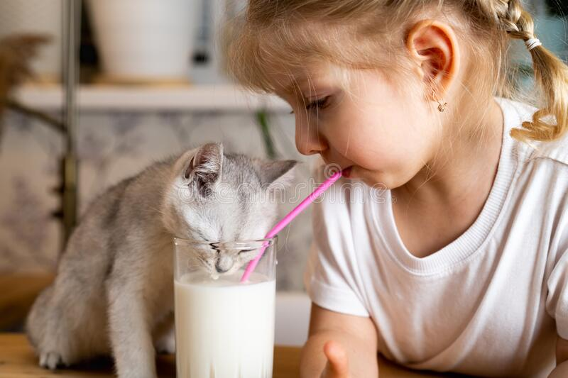 A small blonde girl sits at a table with a white Scottish kitten and drinks milk from one glass.  royalty free stock photography