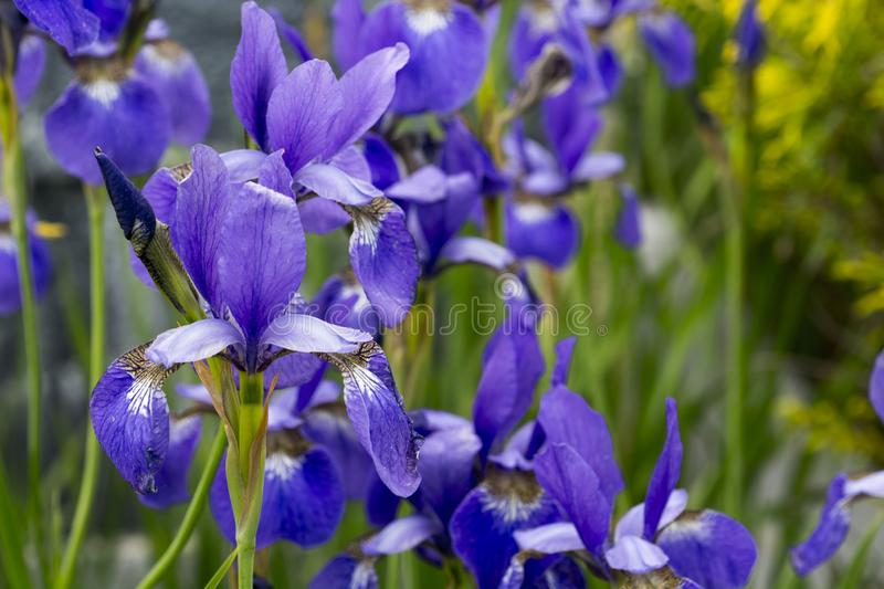 Small japanese iris in full bloom royalty free stock photography