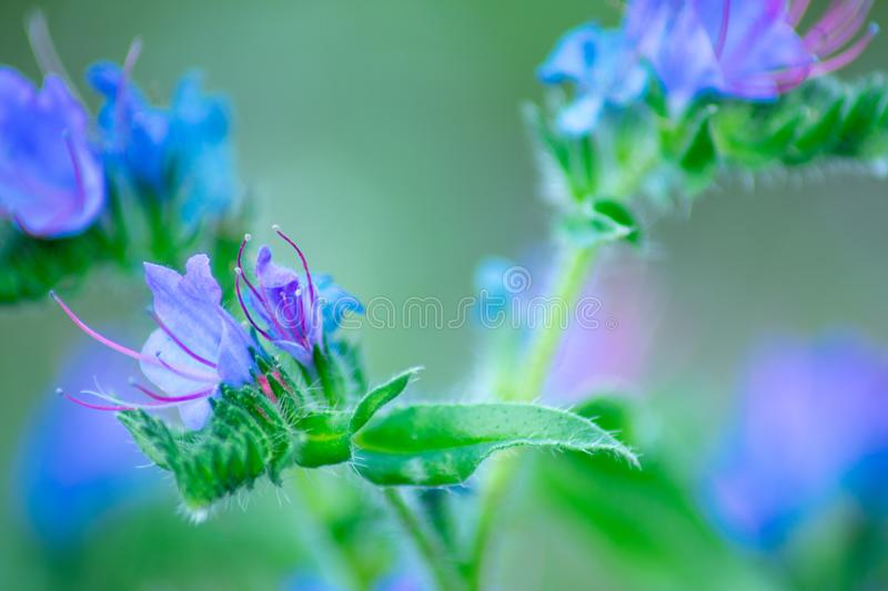 Small blue bruise flower royalty free stock images