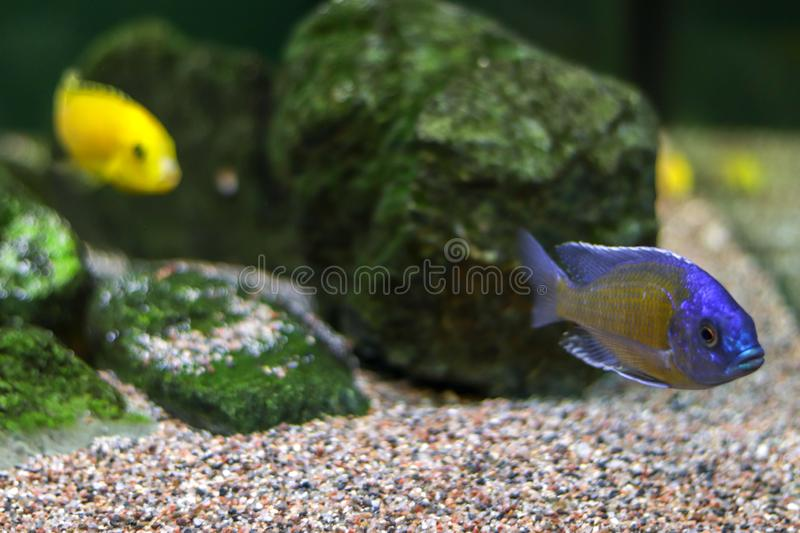 Small blue fish swims along bottom of ocean or aquarium, followed by a yellow fish in blur. Side view with free copy space for royalty free stock images