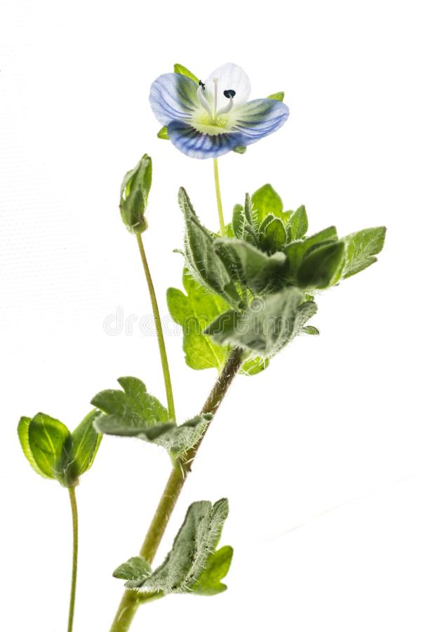 Small blue flower stock photography
