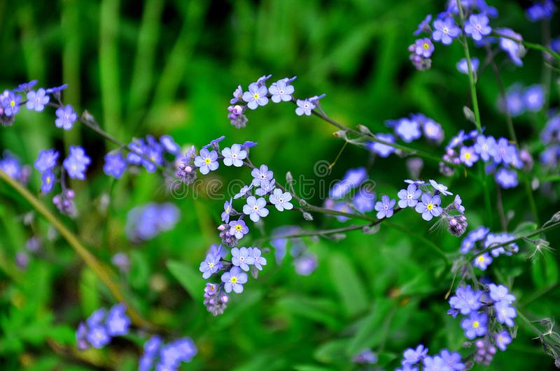 Small blue flowers of forget-me-not in the green grass. Amazing spring wildflowers stock photos