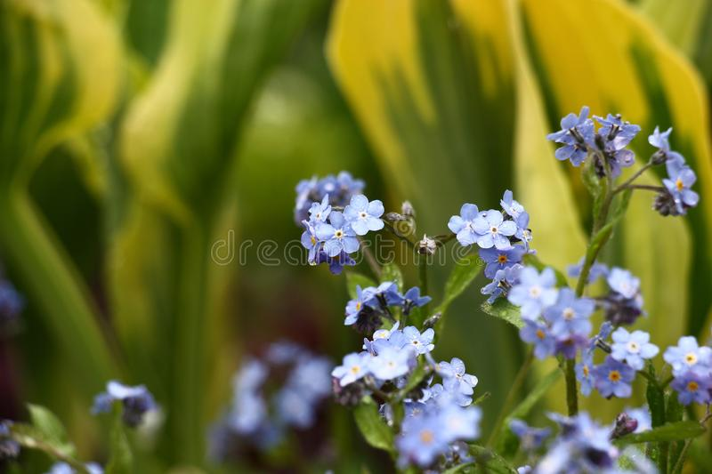 Forget-me-not against the background of hosts. Small blue flowers of a forget-me-not on a yellow and green background of leaves hosts stock image