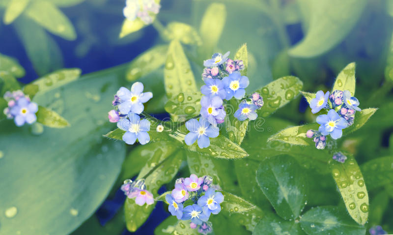 Small blue flowers forget-me-nots in the field. Meadow plant background. Close-up.  royalty free stock image