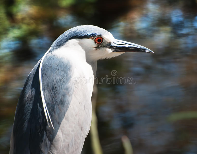 Download Small Blue Heron stock image. Image of marsh, blue, grass - 24042833