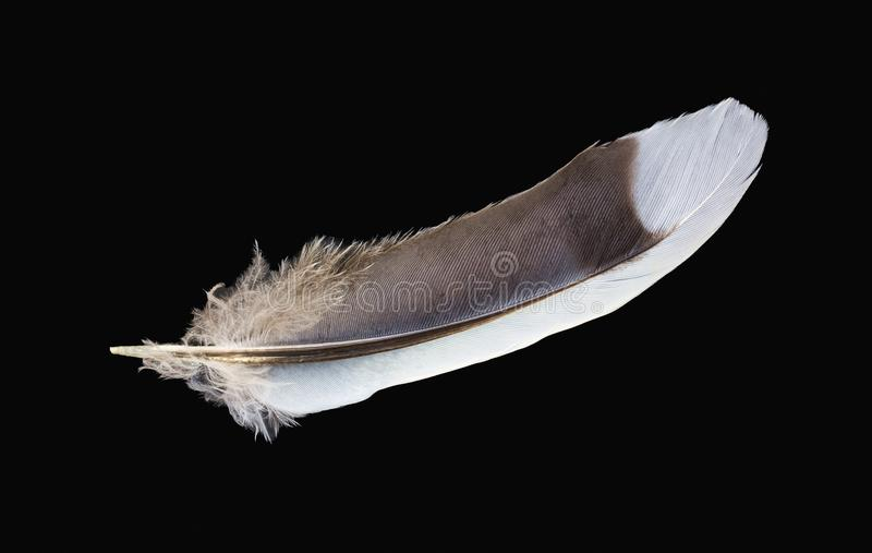 Blue jay feather on a black background stock photography