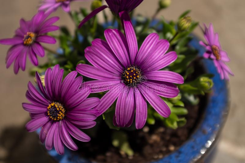 A small blue pot of vivid purple African Daisies, the foreground flower in focus and the background flowers out of focus. Nobody in the image royalty free stock photos