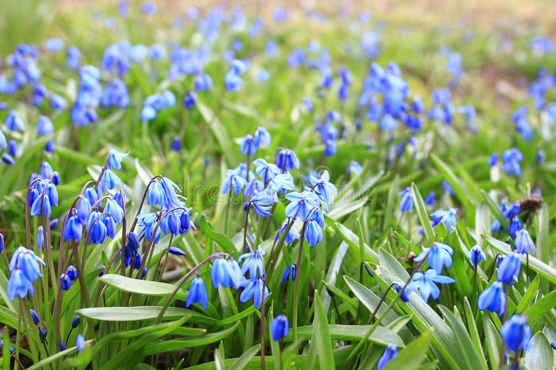 Small blue spring flowers stock photo image of flower 69336298 download small blue spring flowers stock photo image of flower 69336298 mightylinksfo