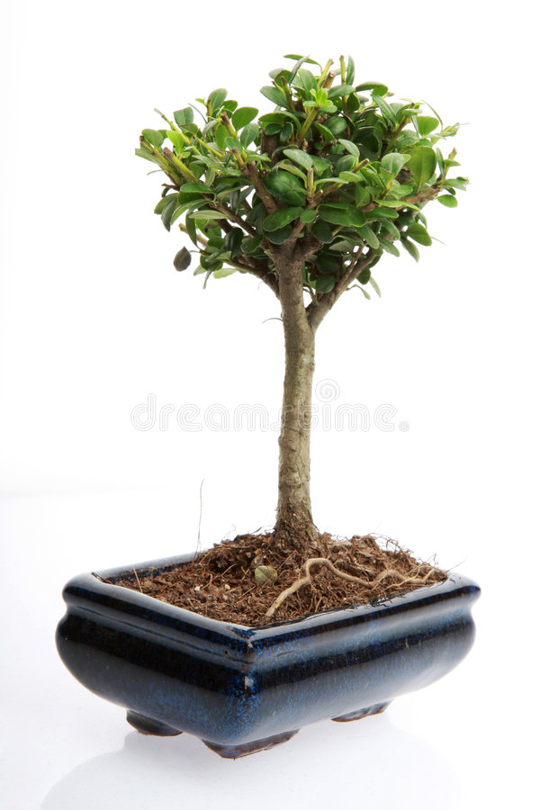 Small bonsai tree. A small japanese bonsai tree in a pot isolated on white with copy space royalty free stock photo