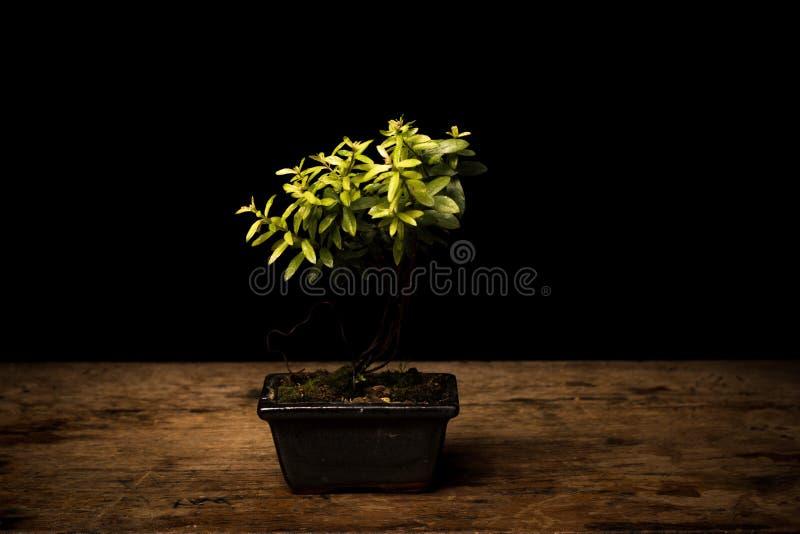 Download Small Bonsai Tree In Ceramic Pot Stock Photo - Image of garden, blurred: 32991778