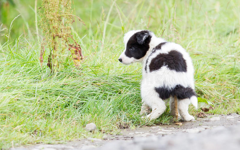Small Border Collie puppy on a farm, pooing royalty free stock photos
