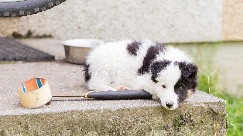 Small Border Collie puppy on a farm,resting royalty free stock photography