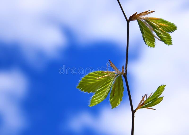 Branch of a beech tree stock photos