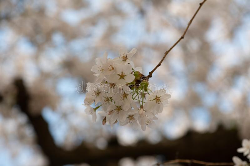 Small branch of white cherry blossoms stock photography