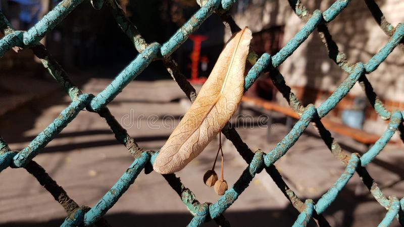 Small branch of dry seeds hanging on old dirty blue wire fence stock image
