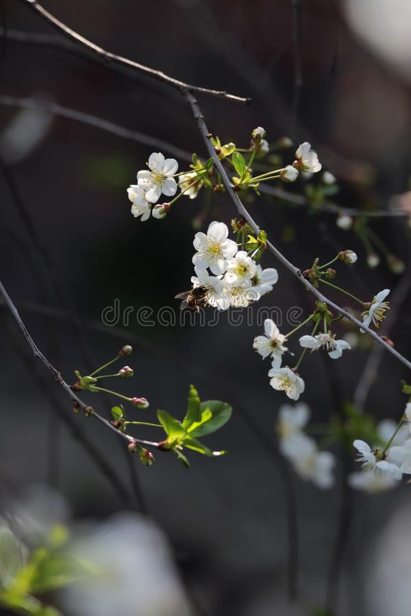A small branch of luminous cherries. A bee sits on the little white lights royalty free stock images
