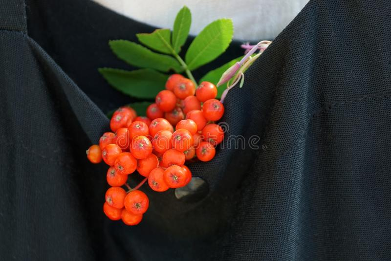 Branch with red berries of mountain ash and green leaves in a bag of black cloth royalty free stock photo