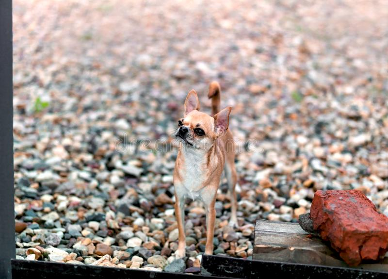 Small brave dog watching entrance royalty free stock photos