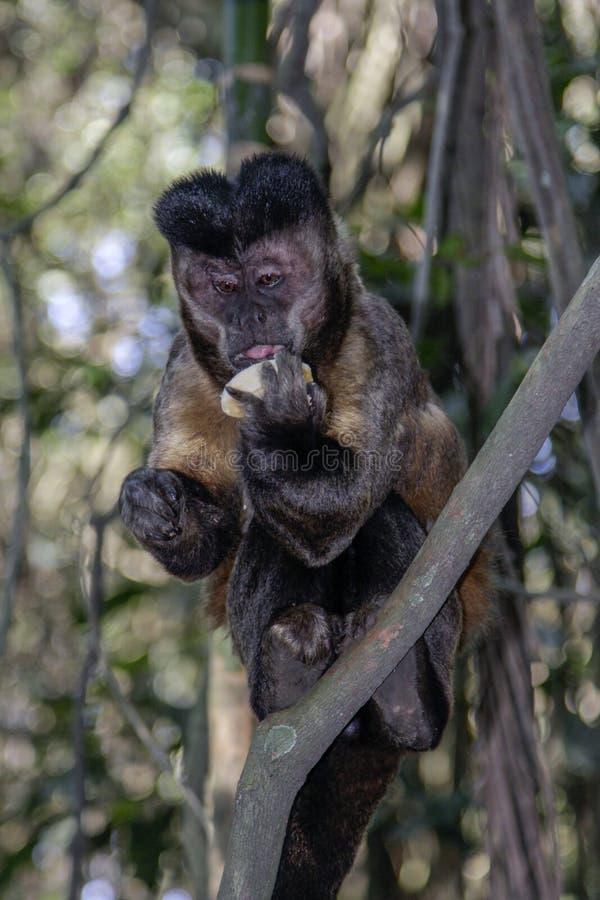 A small brazilian monkey eating a banana stock photography