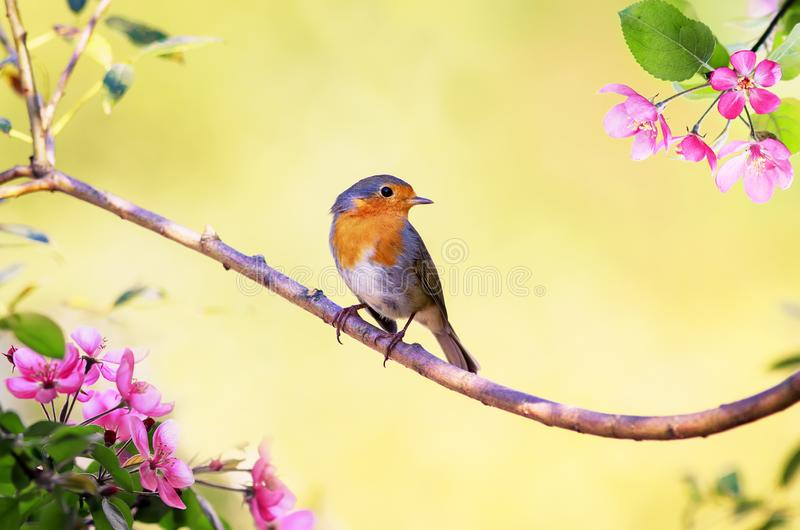 Small bird Robin sits on an Apple tree branch with pink flowers in Sunny may spring garden. Small bright bird Robin sits on an Apple tree branch with pink stock photos