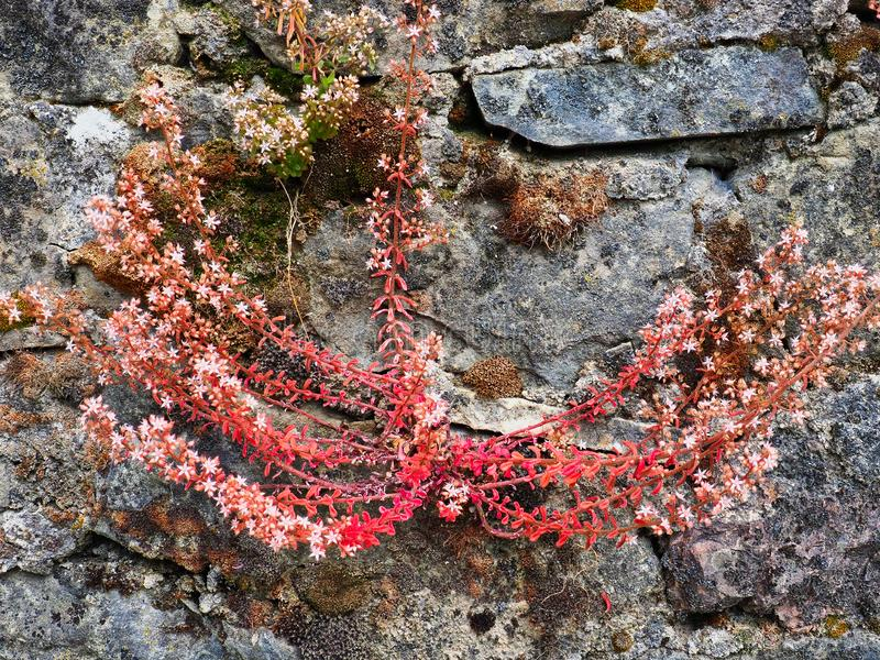 Bright Pink Flowering Succulent Shrub on Old Stone Wall. A small bright pink red flowering shrub growing from the side of an old stone garden retaining wall stock photography