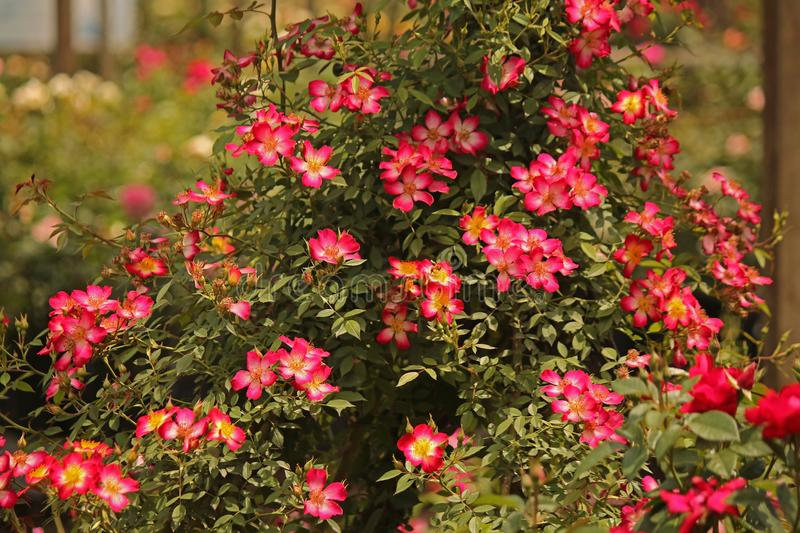 SMALL BRIGHT PINK ROSES ON A BUSH royalty free stock photo