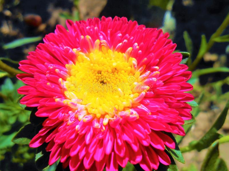 Small bright red-pink aster. royalty free stock photo