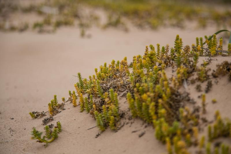 A small, bright seaside plants growing in the sand. Beach scenery with local flora. A beautiful, colorful close up of a seaside plants royalty free stock image