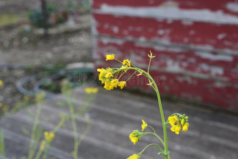 Small Bright Yellow Flowers with Weathered Red Wall in the Background. Small yellow flowers with green stem photographed during a sunny day in Nyon, Switzerland royalty free stock photo