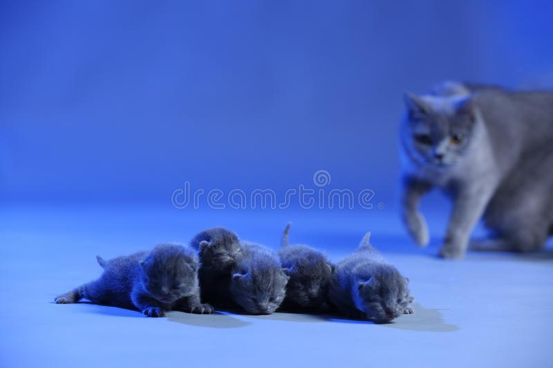 New born kittens, few days old, blue background stock image