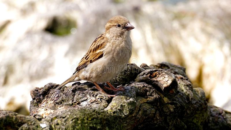 Small brown bird on rocks royalty free stock photography