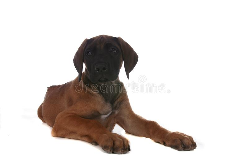 Small brown and black puppy on the floor royalty free stock photo