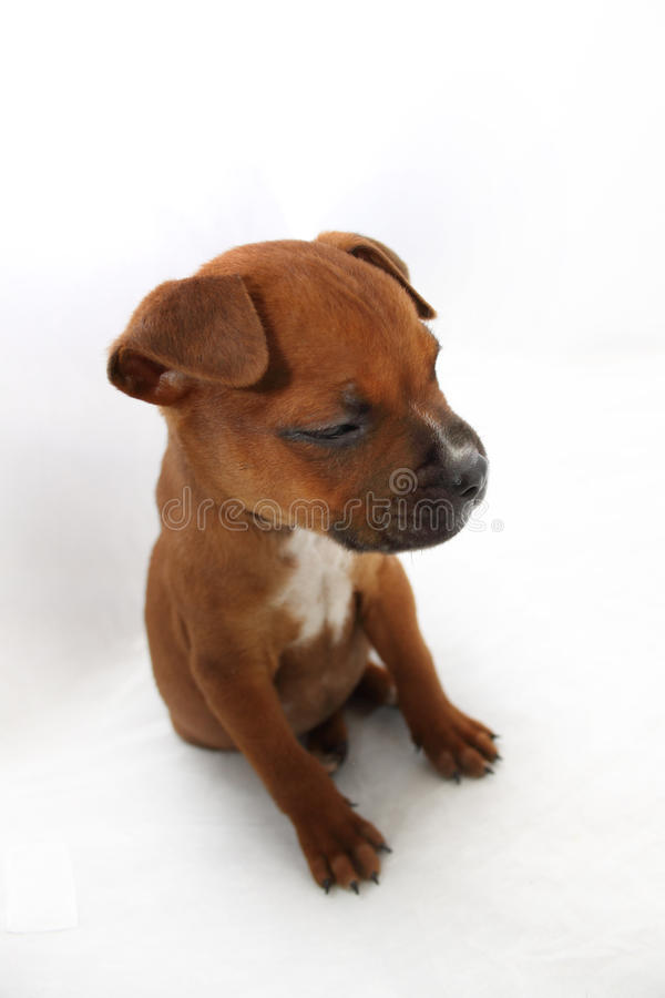 Small Brown Boxer Puppy Falling Asleep royalty free stock image