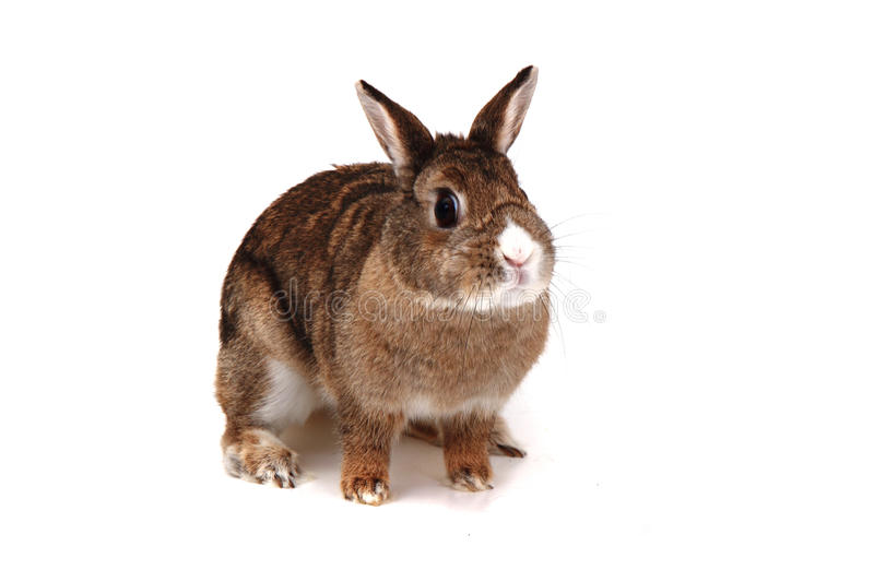 Small brown bunny (pet). On the white background stock image