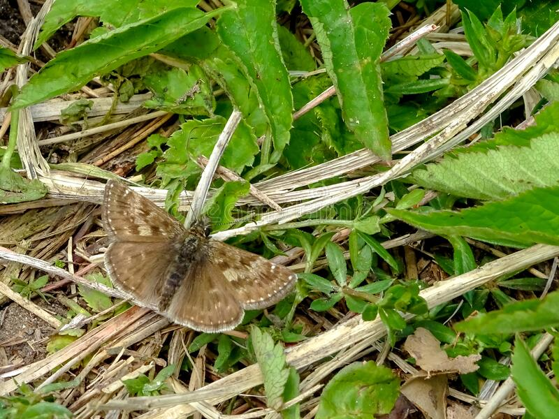 Small brown butterfly dingy skipper, Erynnis tages Hesperiidae, on a green background. May mood stock photography