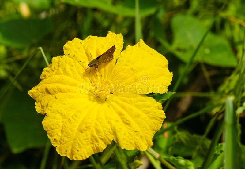 Small brown butterfly  On a yellow flower royalty free stock photo