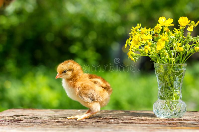 A small brown chicken stands on a wooden background, followed by a natural green background.  stock images