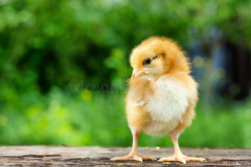 A small brown chicken stands on a wooden background, followed by a natural green background.  royalty free stock images