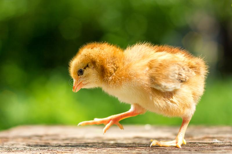 A small brown chicken stands on a wooden background, followed by a natural green background.  stock photography
