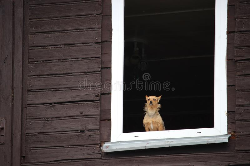 A small brown dog calmly looking through the window of old wooden house. royalty free stock images
