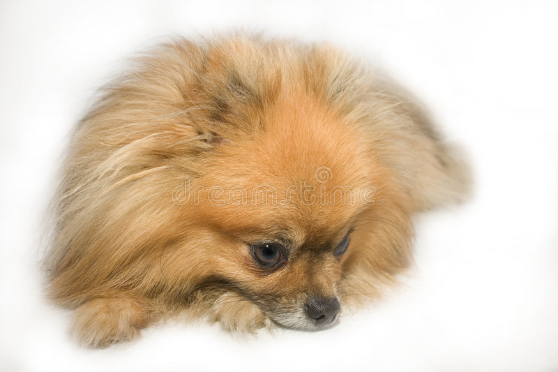 Small brown dog laying on floor stock image