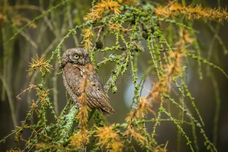 Small brown European scops owl, Otus scops sitting on larch tree royalty free stock photography