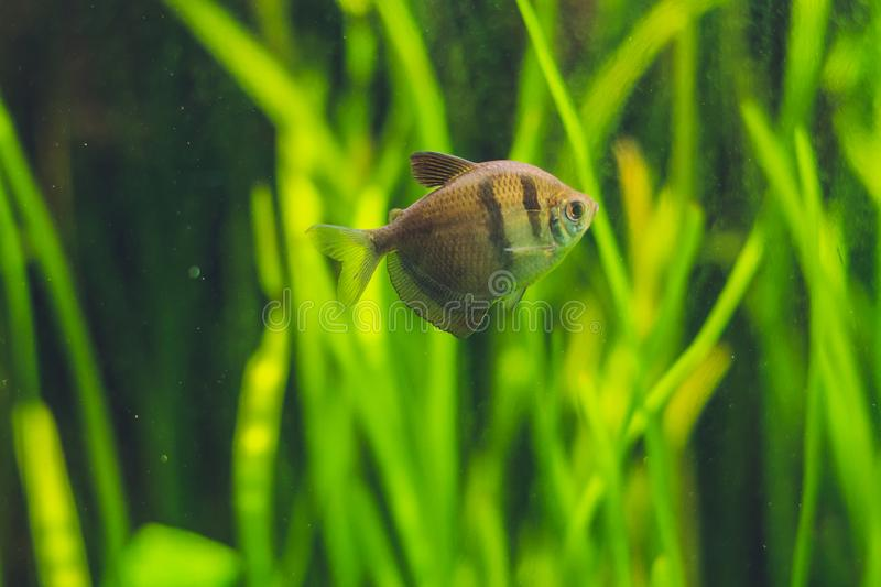 Small brown fish in the aquarium. A small brown fish in the aquarium royalty free stock photos