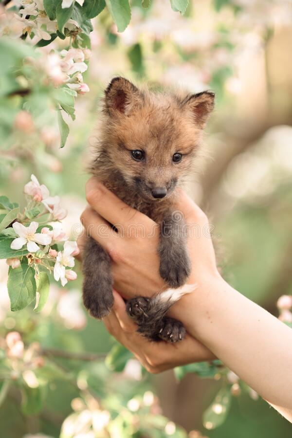 Free Small Brown Fox Cub In The Green Grass Of Blooming White Apple Trees And Flowers, In The Hand Of A Man Stock Photos - 220796003