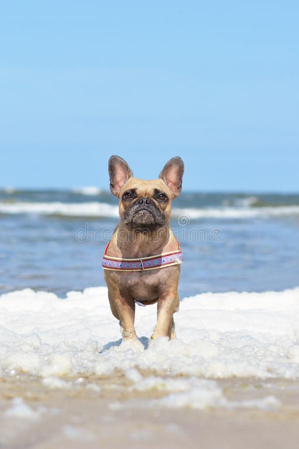 Small brown French Bulldog dog with maritime harness standing in sea foam at beach stock photo