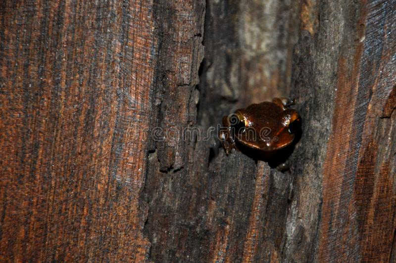 Small brown frog in a tree. stock photography