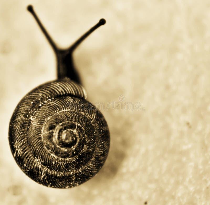 Free Small Brown Garden Snail Stock Photos - 118361403