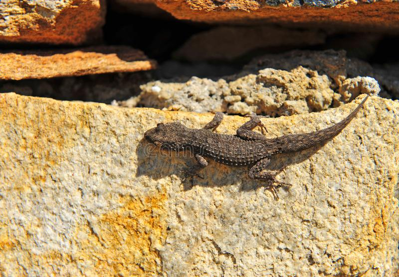 Small brown gecko lizard on stone. In nature stock photography