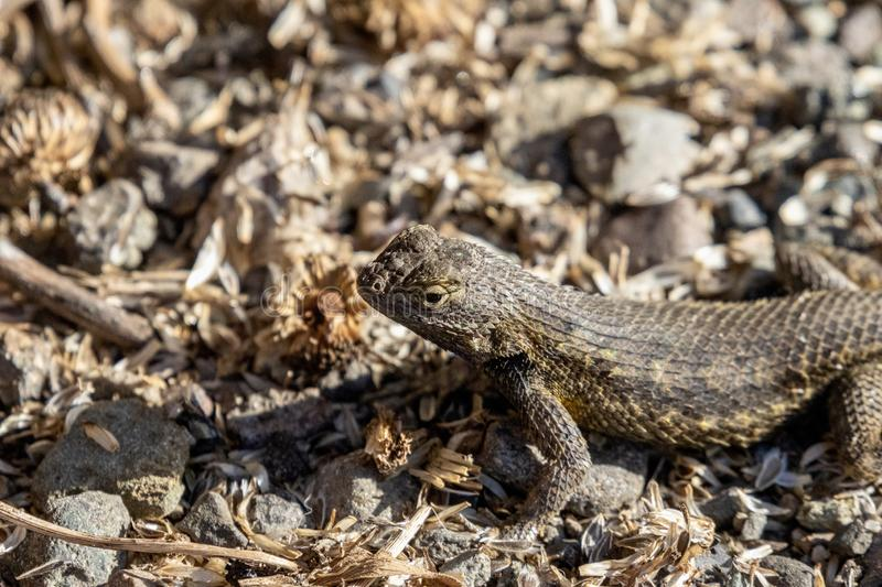 Small brown lizard royalty free stock image